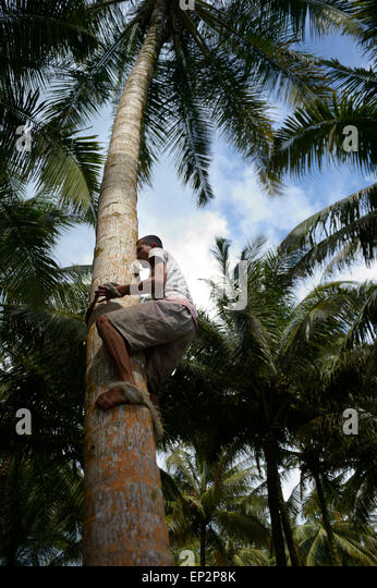 Simeulue Island Indonesia  city photos : Coconuts Harvesting Stock Photos & Coconuts Harvesting Stock Images ...