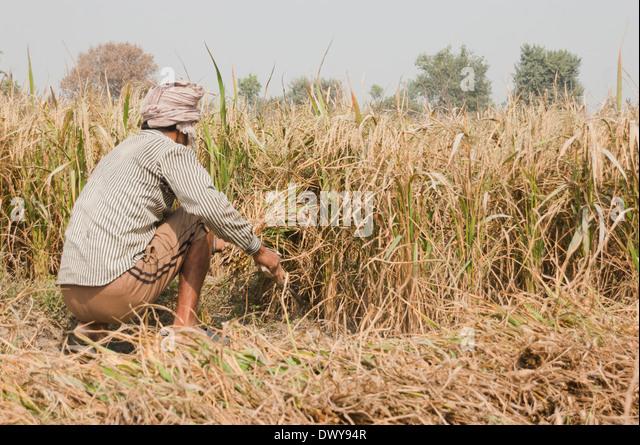 Indian Man Harvesting ...