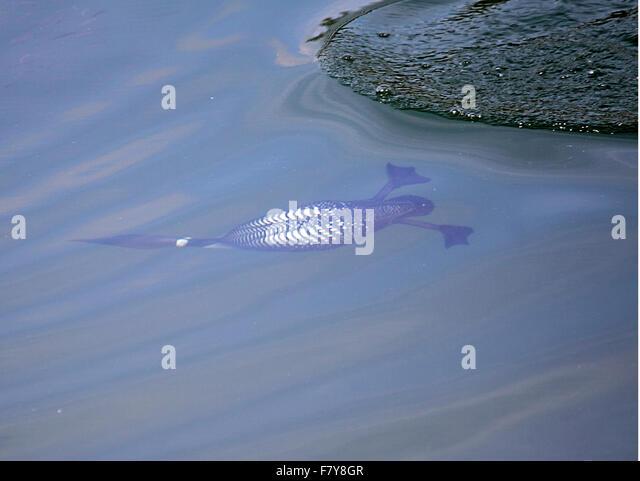 how to catch lake whitefish alberta