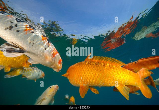 Koi stock photos koi stock images alamy for Ph for koi fish