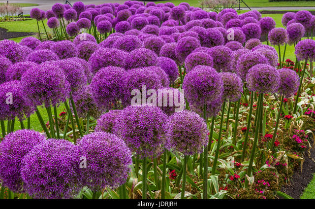 Lovely Purple Giant Alliums  (Allium Giganteum) stand proud and tall in an English Garden - Stock Image