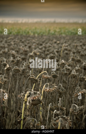 Dead Sunflowers In A Country Field