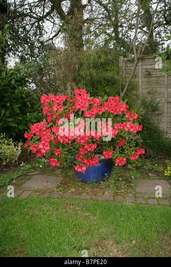 rhododendron in pots halve parasol. Black Bedroom Furniture Sets. Home Design Ideas