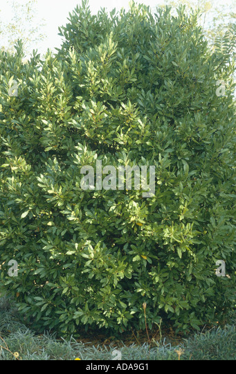 bay laurel shrub stock photos bay laurel shrub stock. Black Bedroom Furniture Sets. Home Design Ideas