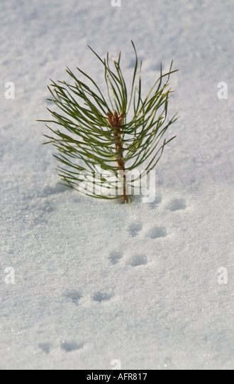 Animal Tracks - Columbian Black-tailed Deer (Odocoileus hemionus ...