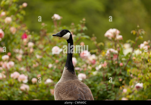 Canada Goose Jacka Nk Göteborg