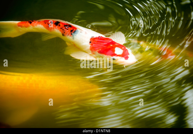 Pond garden fish stock photos pond garden fish stock for Japanese garden san jose koi fish