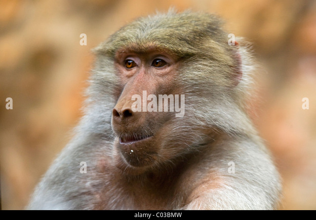 Male Baboon Mating Female Stock Images - Image: 31322934