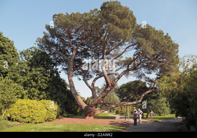 A Stone Pine Tree (Pinus Pinea) In The Royal Botanic Gardens, Kew,