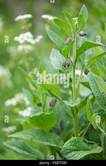 black singles in comfrey Is it safe to use comfrey  as humans, would have to eat somewhere in the region of 80 comfrey leaves every single day for a period of nine weeks,.