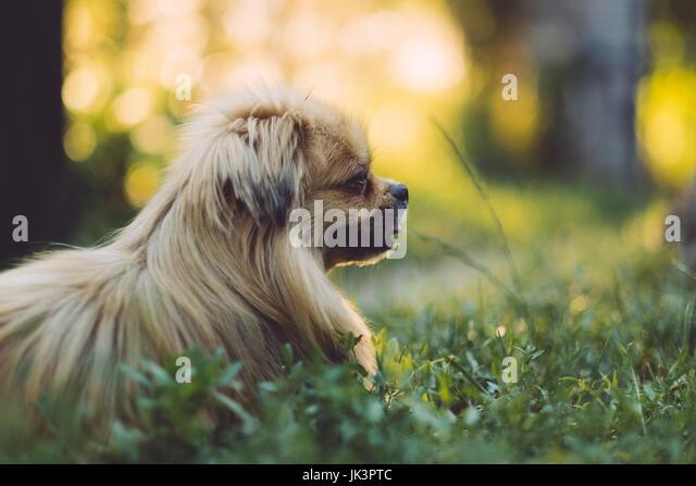 Pekingese dog - Stock Image