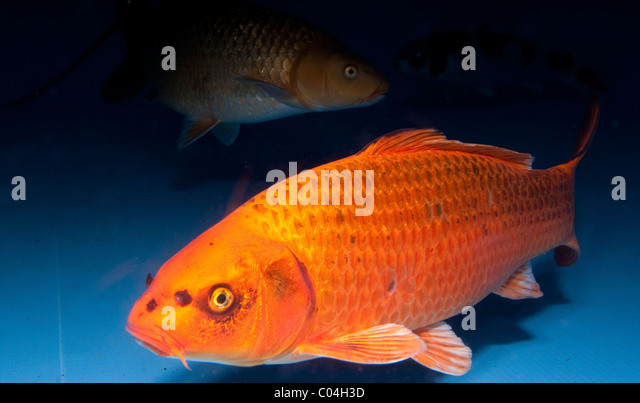Domesticated common carp stock photos domesticated for Ornamental carp fish