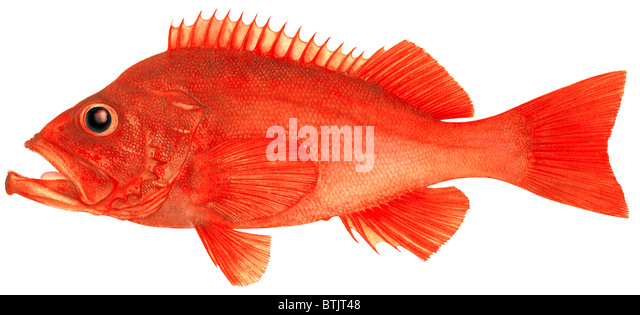 Saltwater fish stock photos saltwater fish stock images for Ocean perch fish