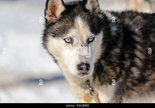 Dogs With Blue Eyes Stock Photos & Dogs With Blue Eyes ...