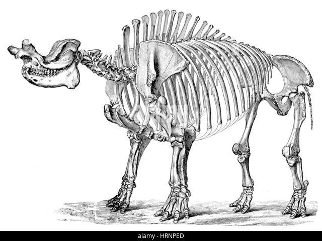 titanotherium cenozoic mammal stock image