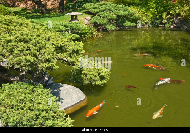 Koi fish stock photos koi fish stock images alamy for Japanese garden san jose koi fish