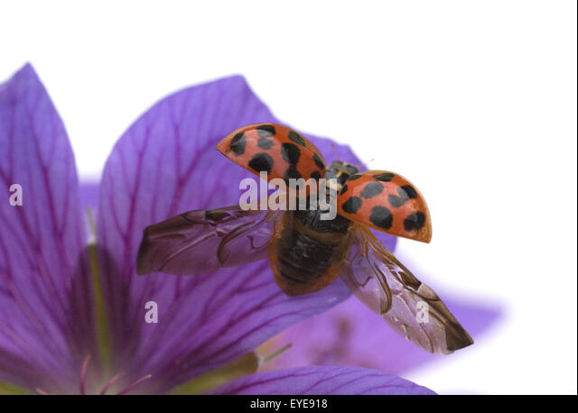 ladybugs mating stock photos ladybugs mating stock. Black Bedroom Furniture Sets. Home Design Ideas