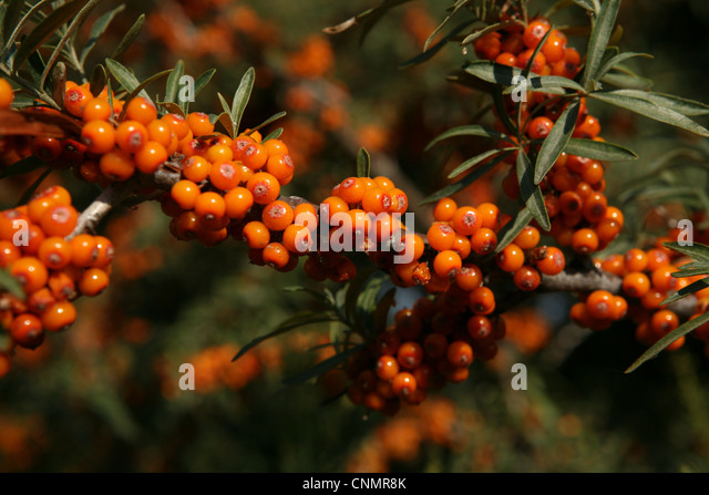 Elaeagnaceae stock photos elaeagnaceae stock images alamy - Growing sea buckthorn ...