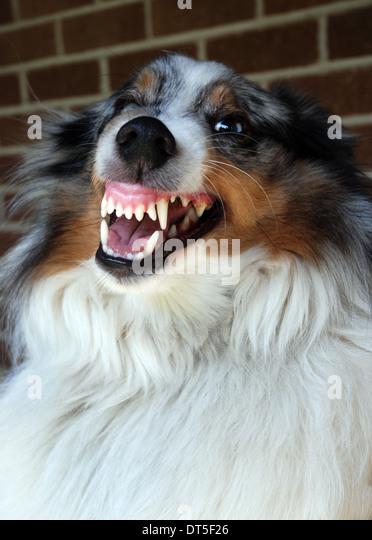 dog snarling stock photos  u0026 dog snarling stock images