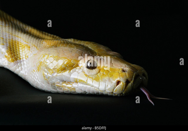 Python Fangs Stock Photos & Python Fangs Stock Images - Alamy