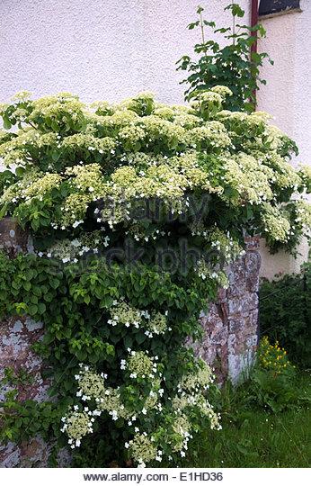 Hydrangea anomala petiolaris stock photos hydrangea - Hydrangea petiolaris ...