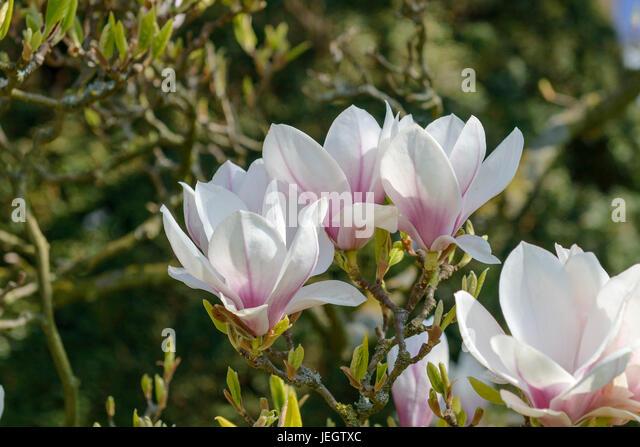 tulpen magnolie stock photos tulpen magnolie stock images alamy. Black Bedroom Furniture Sets. Home Design Ideas
