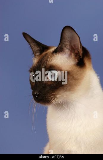Classic siamese cat stock photos classic siamese cat for Siamese 9 electric motor