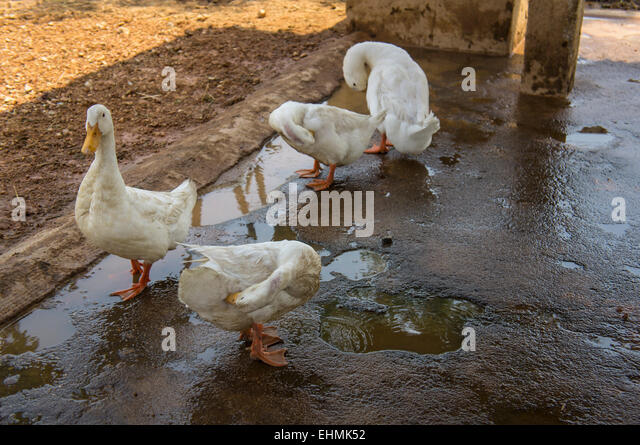 Duck farm fence stock photos duck farm fence stock for Animals that live in soil for kids