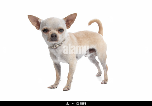 Short Haired Chihuahua Dog Stock Photos & Short Haired Chihuahua ...