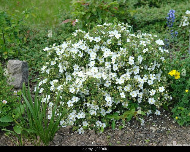 Shrub Potentilla Fruticosa Stock Photos Shrub Potentilla