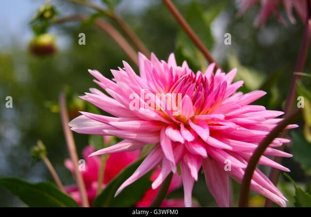 fleur de dahlia stock photos & fleur de dahlia stock images - alamy