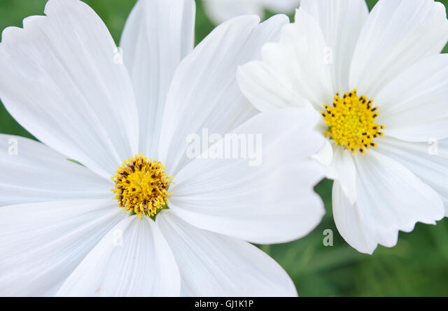 white aster stock photos  white aster stock images  alamy, Beautiful flower