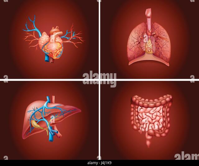 Human Organs Stock Photos Human Organs Stock Images Alamy