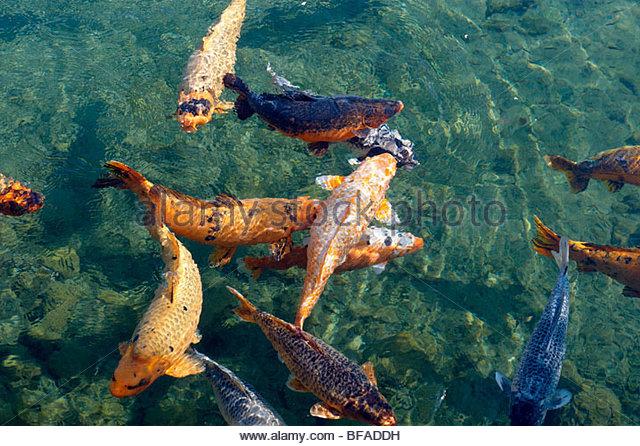 Koi carp stock photos koi carp stock images alamy for Koi pool lancashire