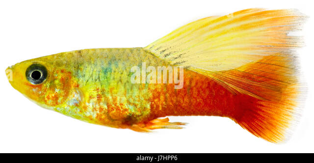 Platy Fish Stock Photos Platy Fish Stock Images Alamy
