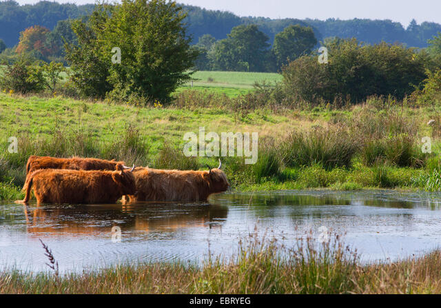 Highland Cattle Herds Stock Photos & Highland Cattle Herds ...