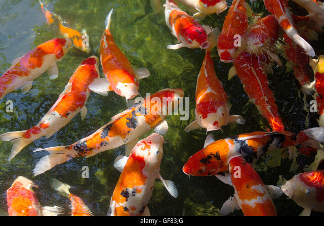 Koi fish in pond stock photos koi fish in pond stock for Orange coy fish