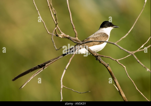 Tyrannus tyrannus stock photos tyrannus tyrannus stock images forked tailed flycatcher tyrannus savana stock image thecheapjerseys Image collections