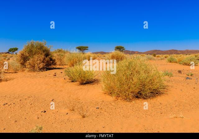 morocco sahara plant stock photos amp morocco sahara plant