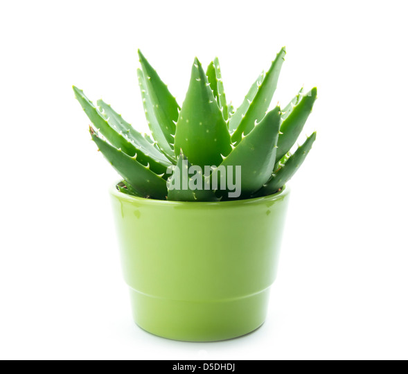 Aloe vera in pot stock photos aloe vera in pot stock images alamy - Aloe vera en pot ...