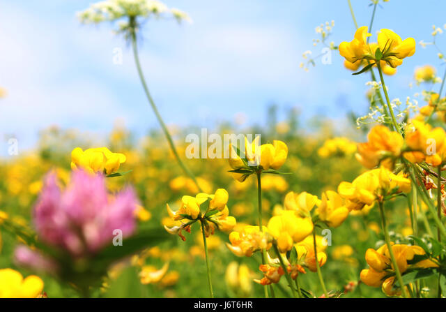 Yellow clover flower stock photos yellow clover flower stock violet clover flower with many yellow flowers in background stock image mightylinksfo