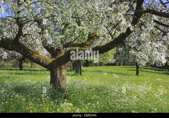 Picturesque apple tree stock photos picturesque apple for Domestica in svizzera