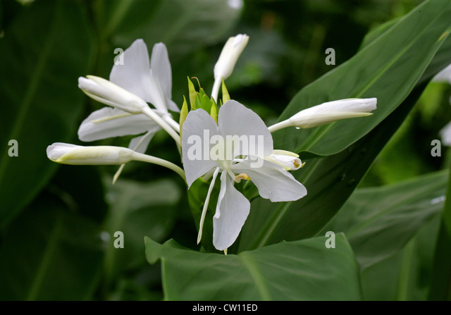 White ginger lily facial