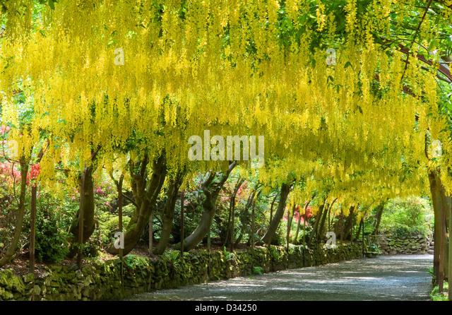 Laburnum arch stock photos amp laburnum arch stock images