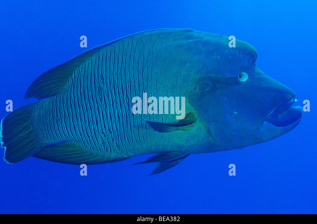 Humphead Stock Photos & Humphead Stock Images - Alamy | 640 x 454 jpeg 67kB