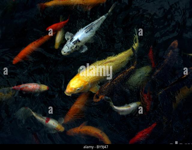 Koi stock photos koi stock images alamy for Koi pool lancashire