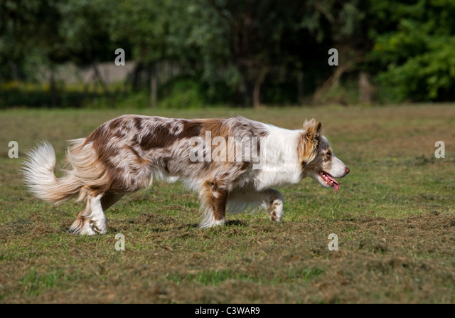 Red Merle Border Collie Stock Photos & Red Merle Border Collie