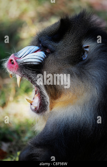 Mandrill Baboon Teeth