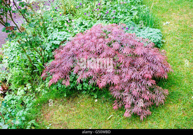 acer palmatum dissectum garnet stock photos acer palmatum dissectum garnet stock images alamy. Black Bedroom Furniture Sets. Home Design Ideas