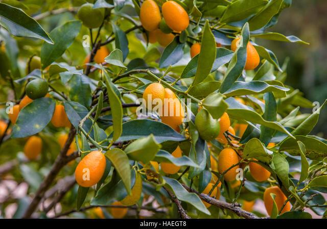Kumquat tree stock photos kumquat tree stock images alamy for Plante kumquat